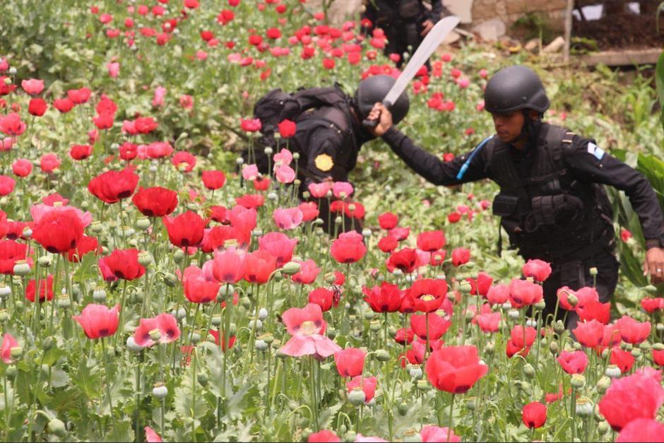 Los agentes han trabajado arduamente para destruir estas plantaciones. (Foto: PNC)