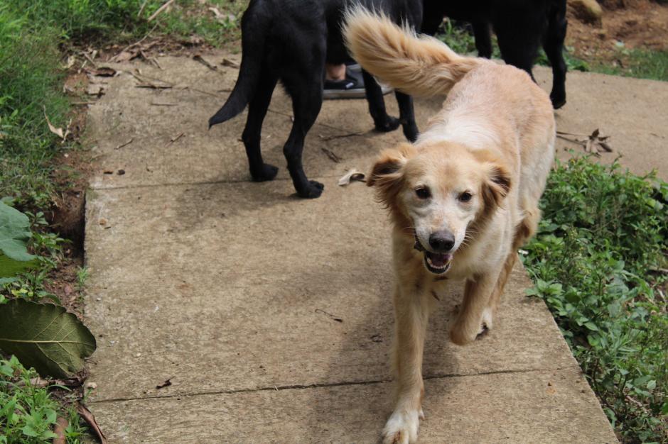 Diez perros conforman la Unidad Canina de los Bomberos Violuntarios (Foto: Andrea Castillo/Soy502)