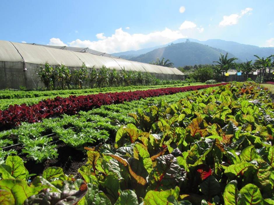 Caoba Farms es un huerto orgánico que reparte sus productos a restaurantes locales. (Foto: Caoba Farms)