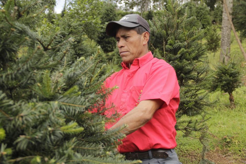 Don Virgilio revisa uno de los árboles que ha plantado para su posterior venta. (Foto: Fredy Hernández/Soy502)