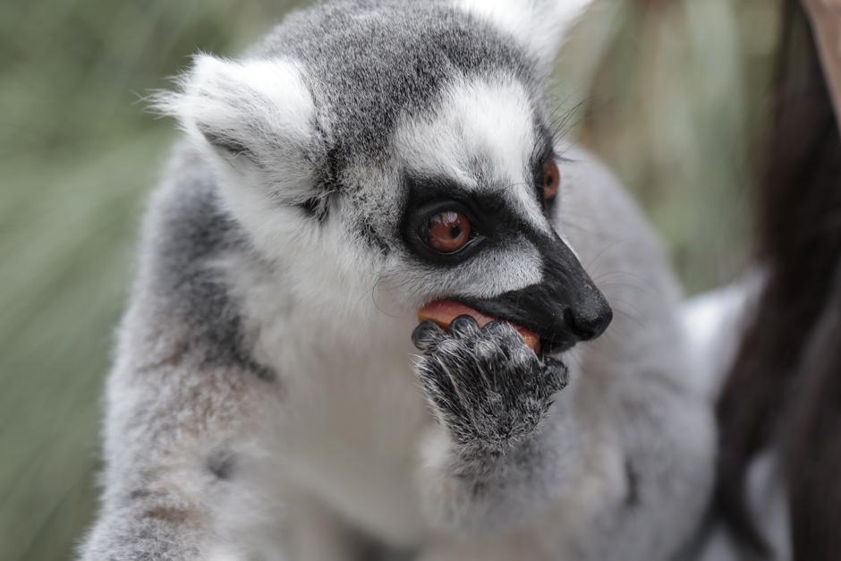 El recorrido VIP de lémures se hace de martes a domingo. (Foto: Alejandro Balán/Soy502)