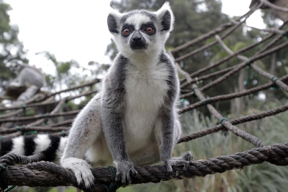 Los lémures son provenientes de Madagascar. (Foto: Alejandro Balán/Soy502)