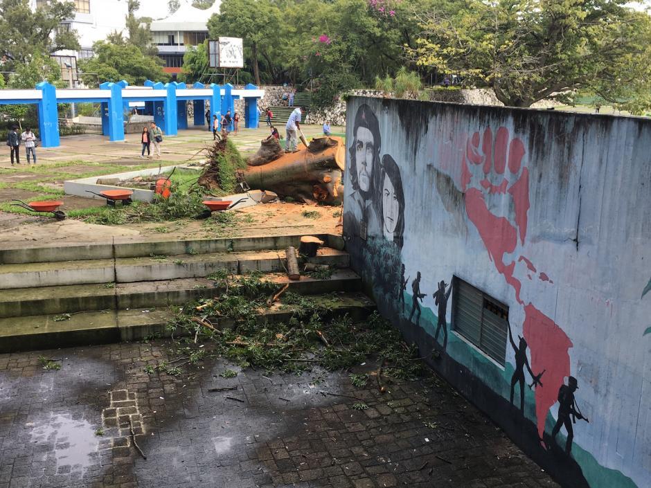 El árbol fue sembrado a principios de 1970. (Foto: Fredy Hernández/Soy502)