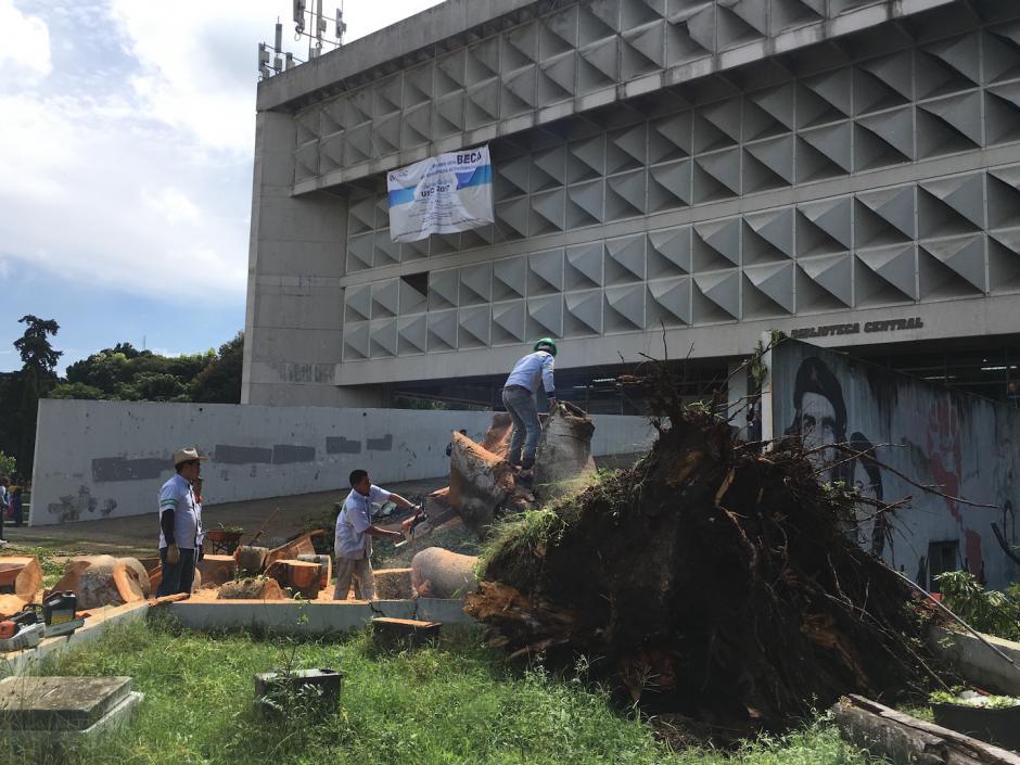 El árbol frente a la biblioteca de la Usac era uno de los más frondosos. (Foto: Fredy Hernández/Soy502)
