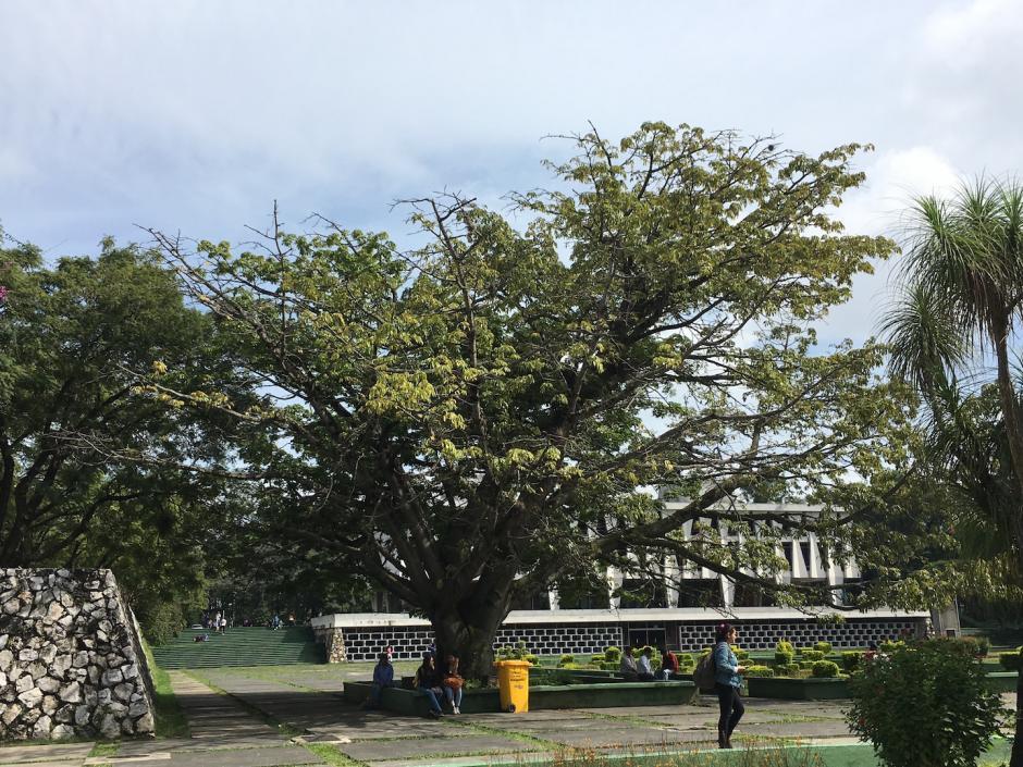 Sus ramas empiezan a secarse y eso alarma a don Dolores Ortiz. (Foto: Fredy Hernández/Soy502)