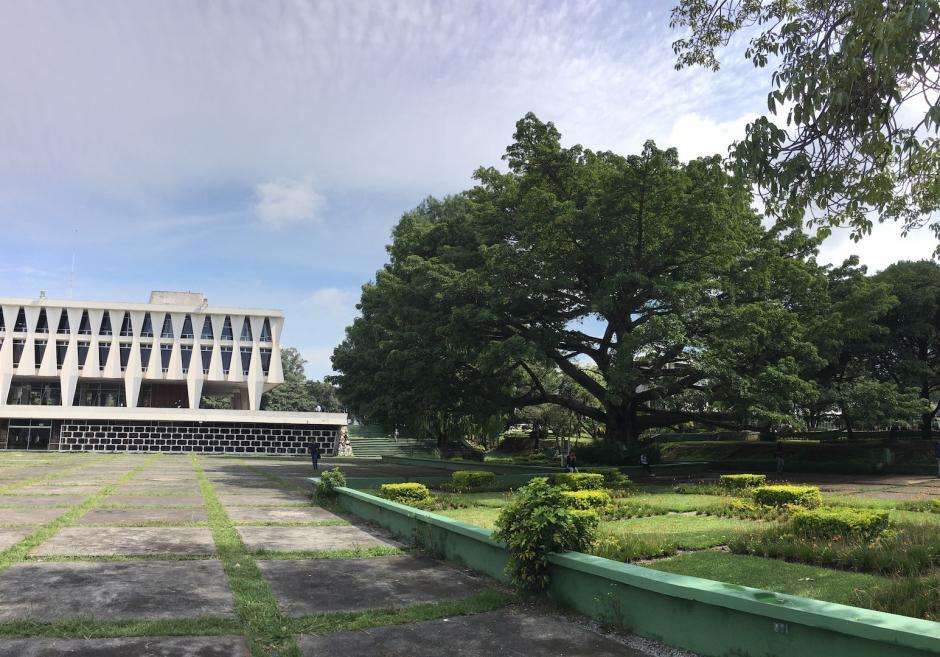 Estos árboles fueron plantados antes de la construcción de la mayoría de edificios en la Usac. (Foto: Fredy Hernández/Soy502)