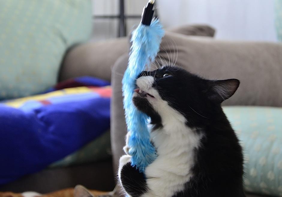 Conan, gatito rescatado por Comunidad Gatuna, juega sin parar. (Foto: Selene Mejía/Soy502)