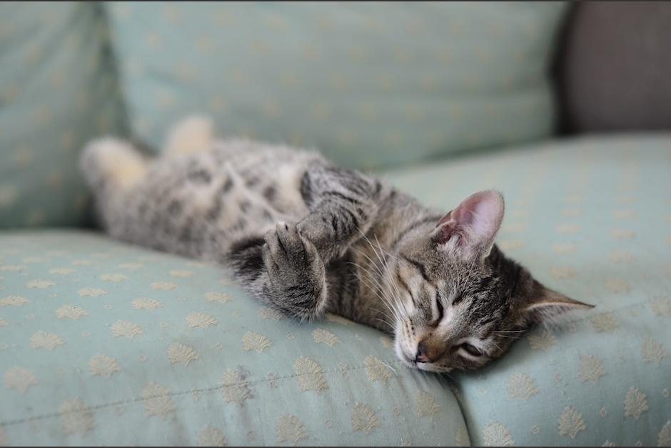 El mundo gatuno es fascinante y tierno como Linzo, gatito rescatado por Comunidad Gatuna. (Foto: Selene Mejía/Soy502)