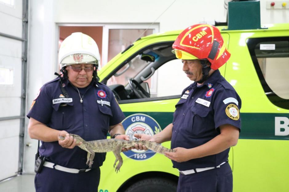 Los Bomberos atraparon al reptil que deambulaba por las calles. (Foto: Mynor Ruano/Bomberos Municipales).