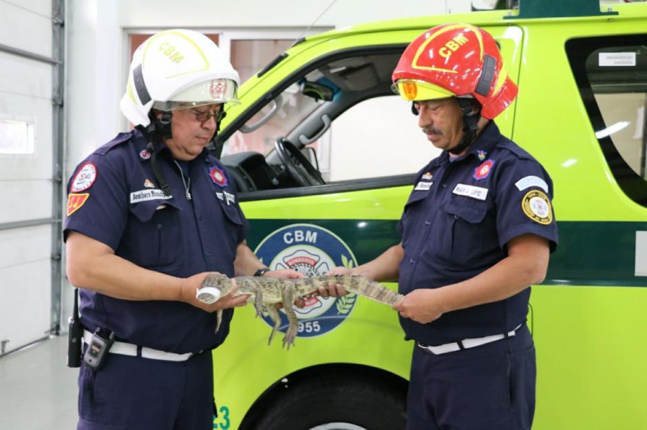Los Bomberos Municipales entregarán el espécimen a una entidad especializada en el cuidado de animales. (Foto: Mynor Ruano/Bomberos Municipales).