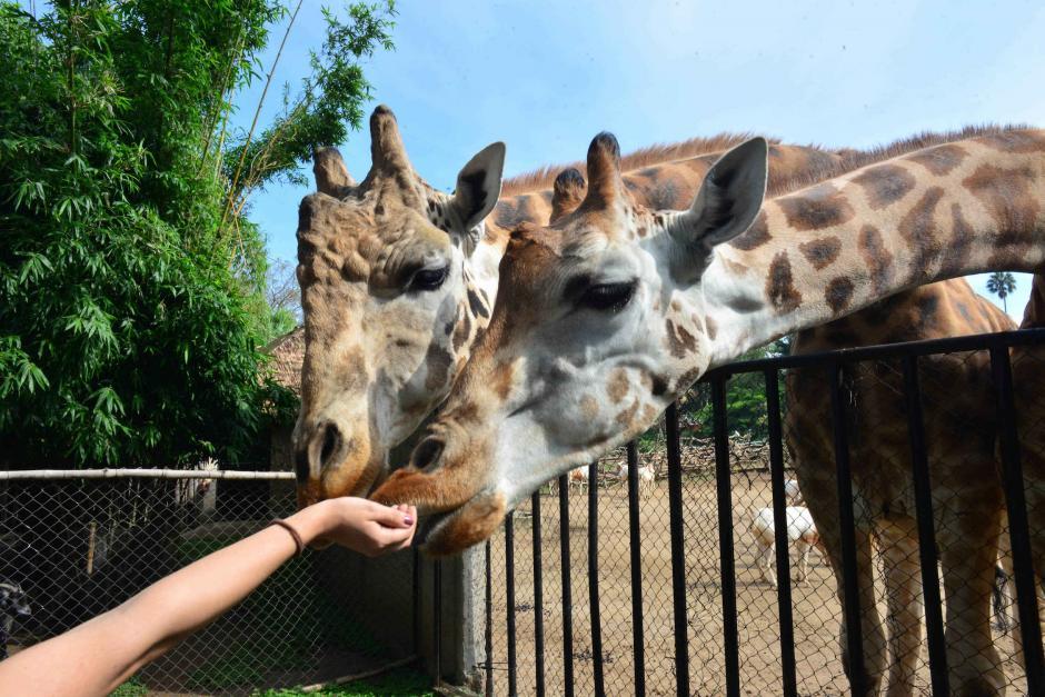 Puli y Pepo son las jirafas del zoológico La Aurora. (Foto: Jesús Alfonso/Soy502)