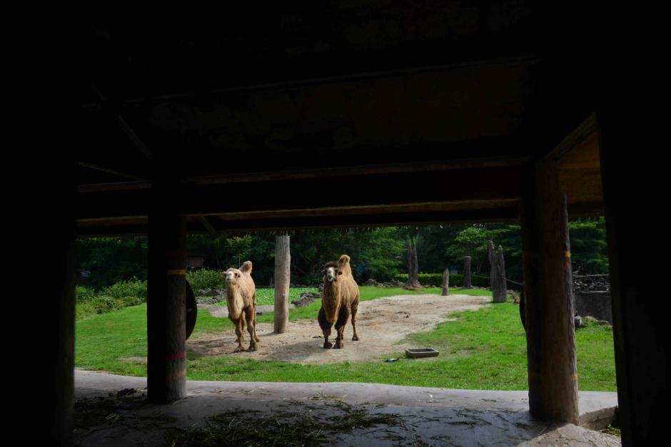 Abu y Jazmín son los camellos necios del zoo. (Foto: Jesús Alfonso/Soy502)