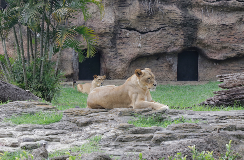 El león vive junto a sus dos hijas leonas. (Foto: Alejandro Balán/Soy502)