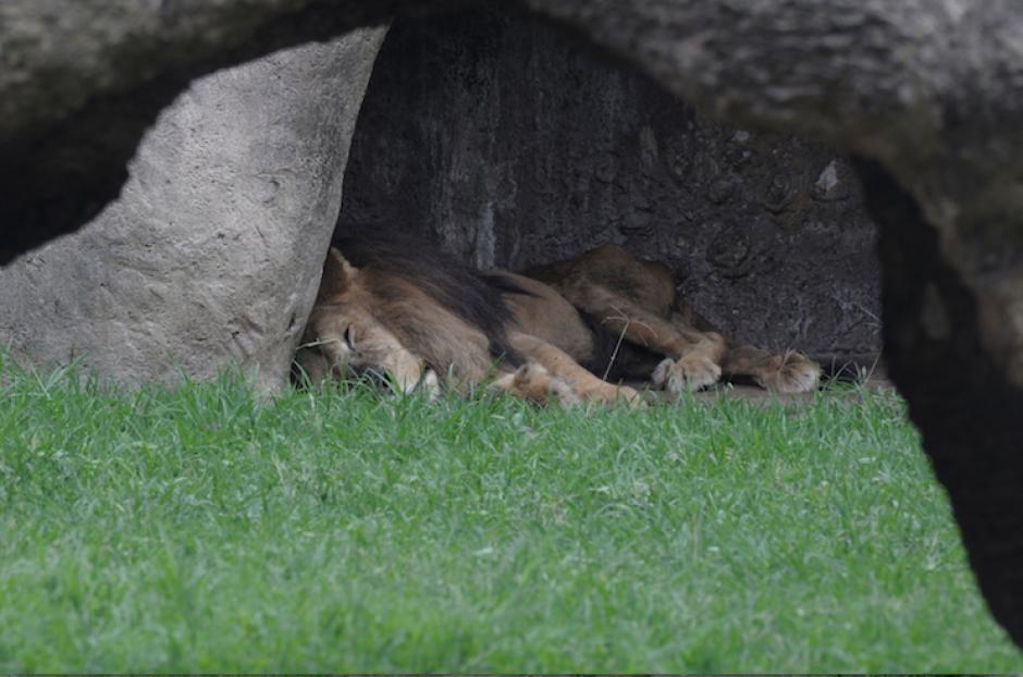 Leono fue homenajeado por varios niños y visitantes del zoológico. (Foto: Alejandro Balán/Soy502)