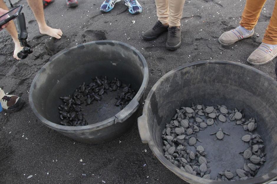 De septiembre a octubre se realiza la liberación de tortugas marinas. (Foto: Fredy Hernández/Soy502)