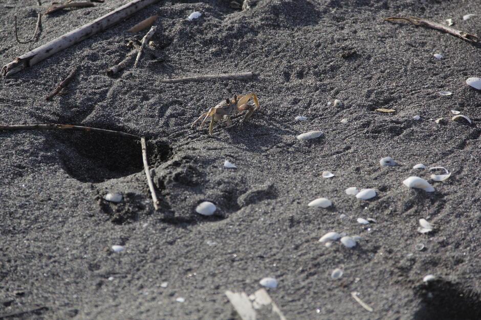 En esta playa también se pueden apreciar cangrejos que buscan llegar al mar. (Foto: Fredy Hernández/Soy502)