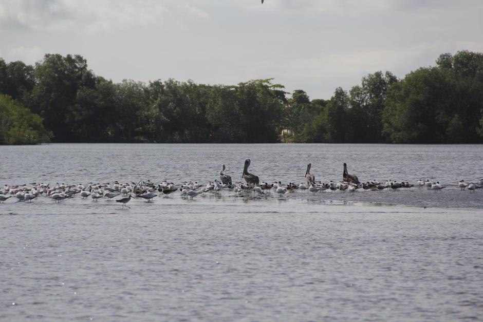 Distintos tipos de aves buscan un espacio para descansar y alimentarse. (Foto: Fredy Hernández/Soy502)