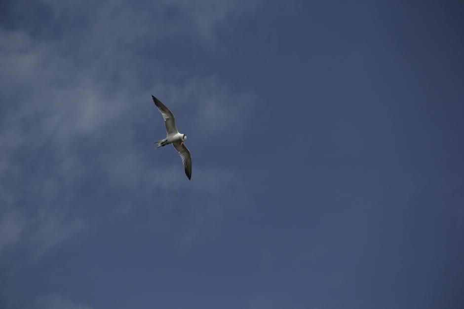 Una gaviota sobrevuela la zona en busca de una buena presa. (Foto: Fredy Hernández/Soy502)