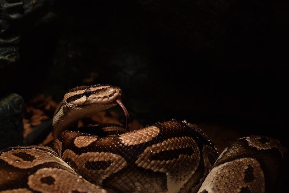 La reñida y espeluznante pelea entre una enorme pitón y una cobra ...