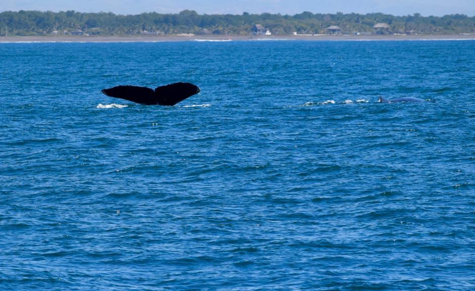 Si tienes buena suerte, puedes ver más que la joroba de estos cetáceos. (Foto: Paola Foncea/PNUD)