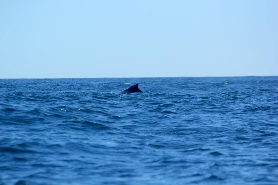 Las ballenas jorobadas son una de las especies que más se pueden encontrar en las aguas del Pacífico. (Foto: Fredy Hernández/Soy502)