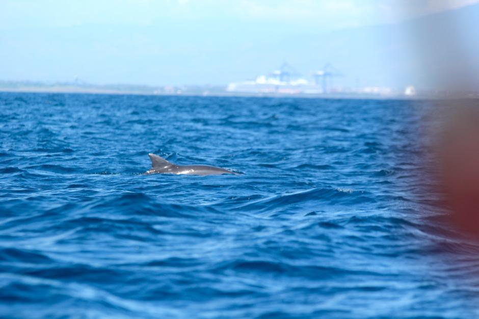 Los delfines apenas se asomaron para dejarse ver algunos segundos. (Foto: Fredy Hernández/Soy502)