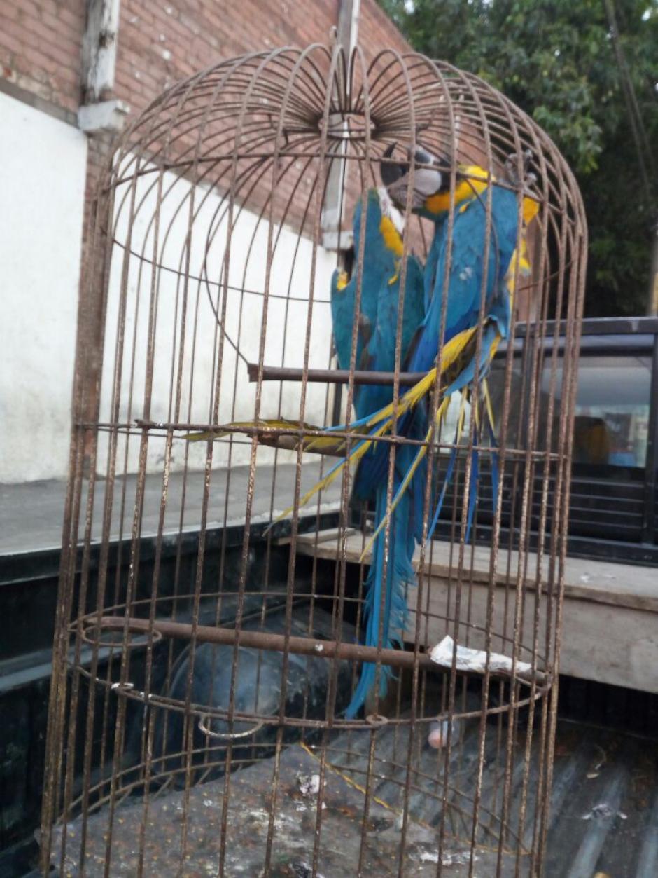Entre las aves rescatadas en una vivienda en Palín se encontraban dos guacamayas. (Foto: PNC)