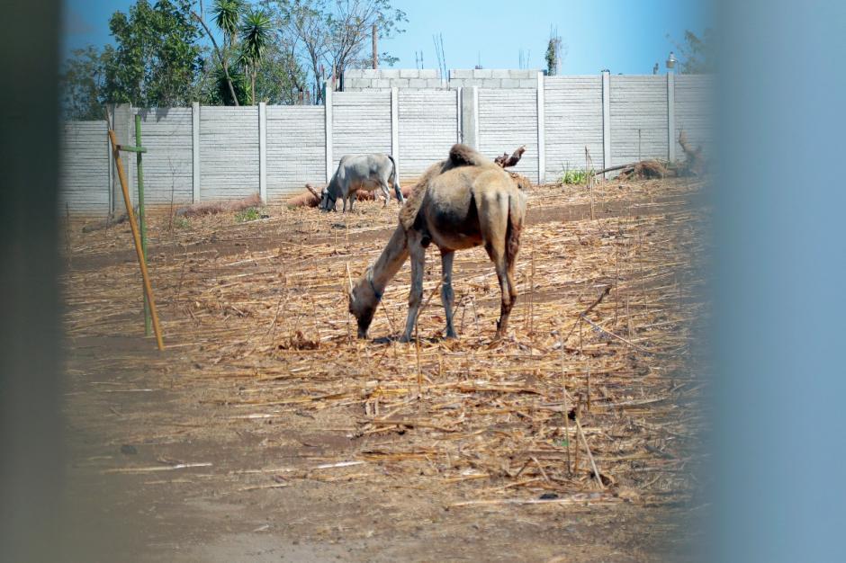 Un camello y una llama buscan alimentarse en el árido espacio que tienen para su cuidado. (Foto: Alejandro Balán/Soy502)