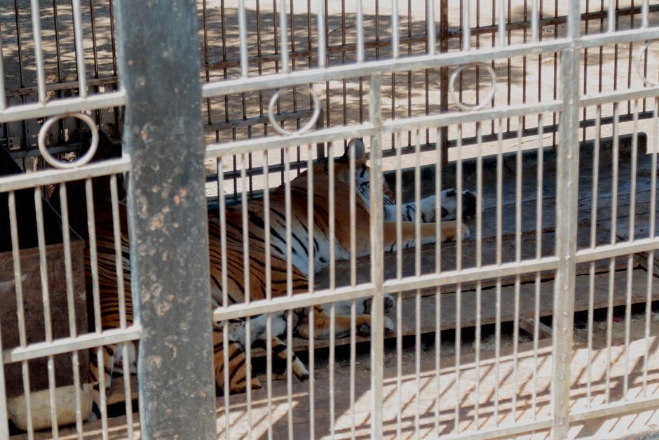 El Conap detalla que en el lugar se guardan trece felinos y que están enjaulados en el terreno. (Foto: Alejandro Balán/Soy502)