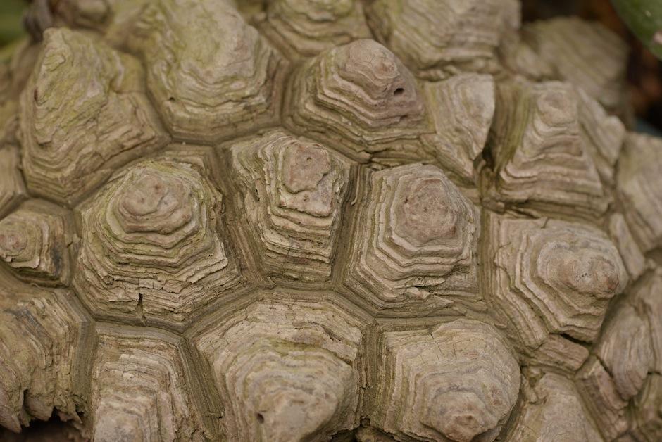 La Dioscorea elephantipes, también conocida como planta tortuga vive en México y Centroamérica.  (Foto: Wilder López/Soy502)
