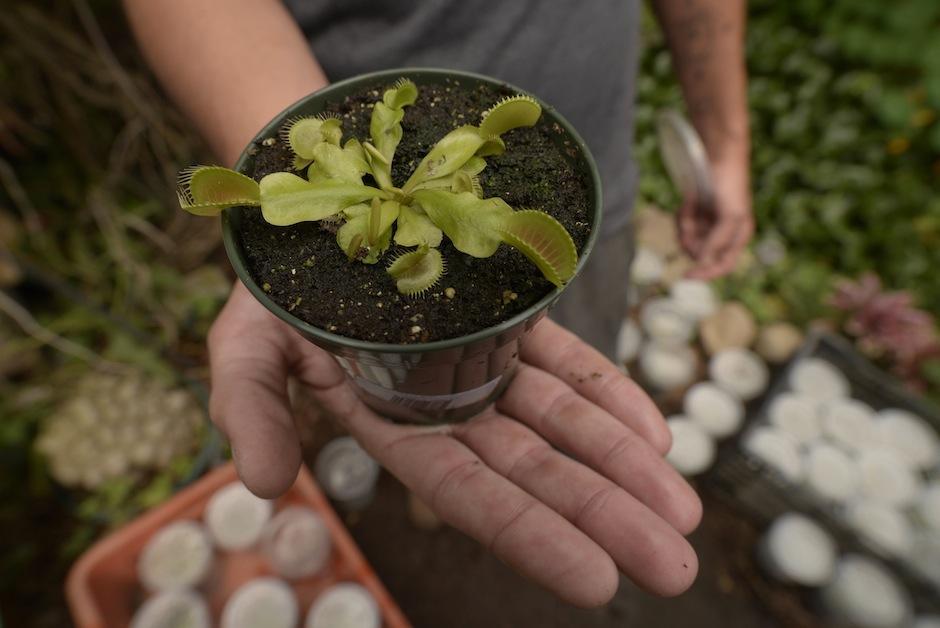 Las carnívoras Dionaea muscipula conocida como Venus atrapamoscas son las más atractivas por su tamaño y su hermosa forma.  (Foto: Wilder López/Soy502)