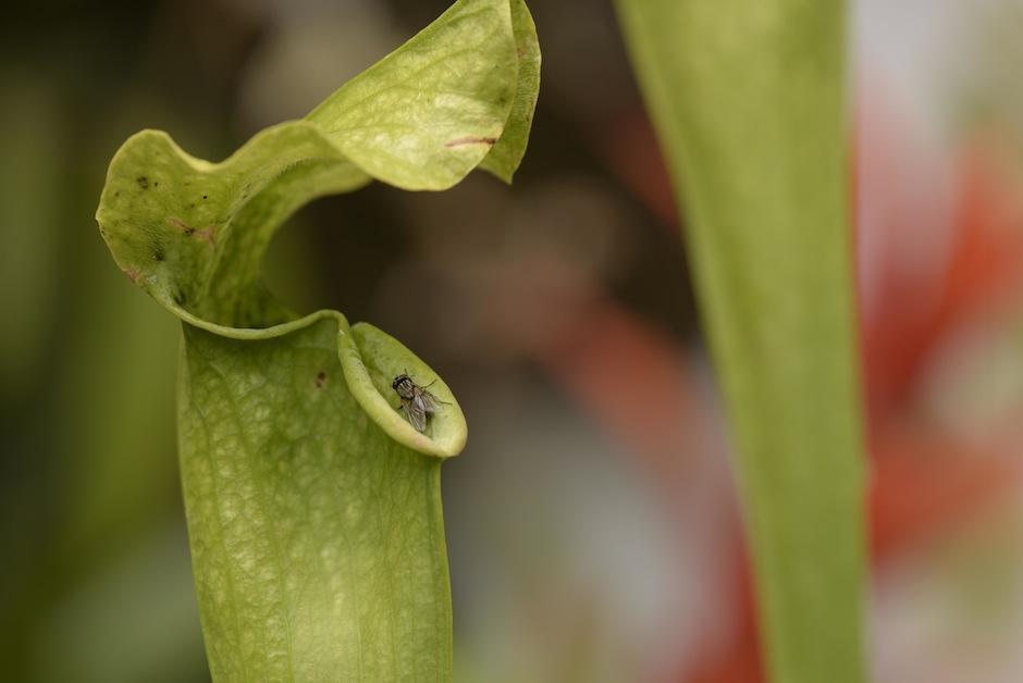 En Antigua Exotic garden puedes encontrar plantas como la hermosa Sarracenia, originaria de Norteamérica. (Foto: Wilder López/Soy502)