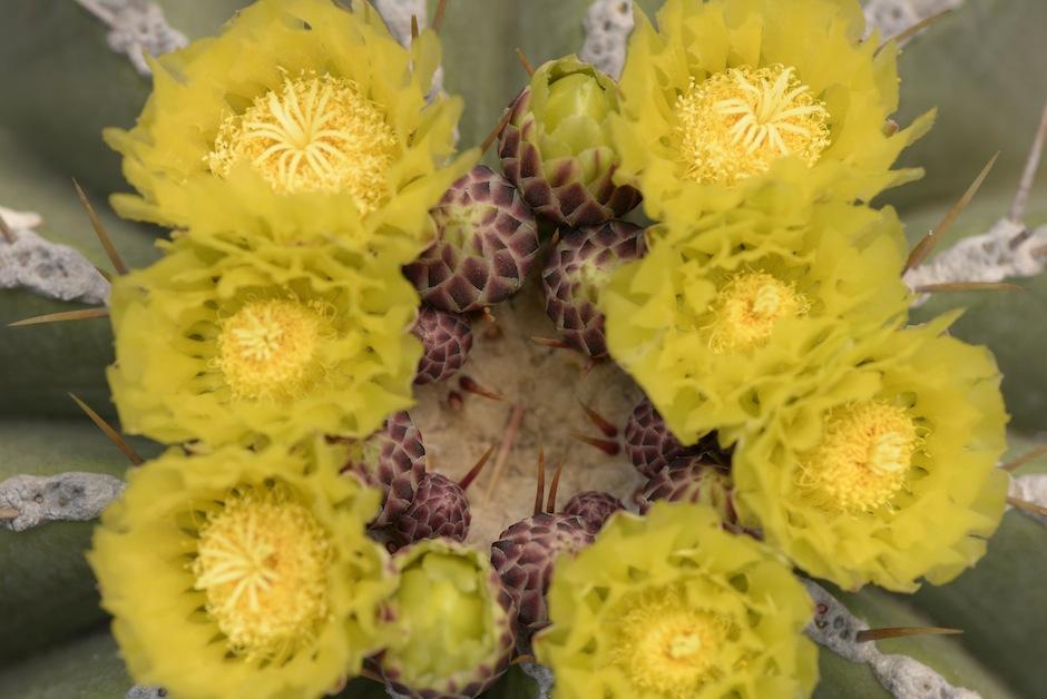 Las floraciones del Ferocactus glaucescens.  (Foto: Wilder López/Soy502)
