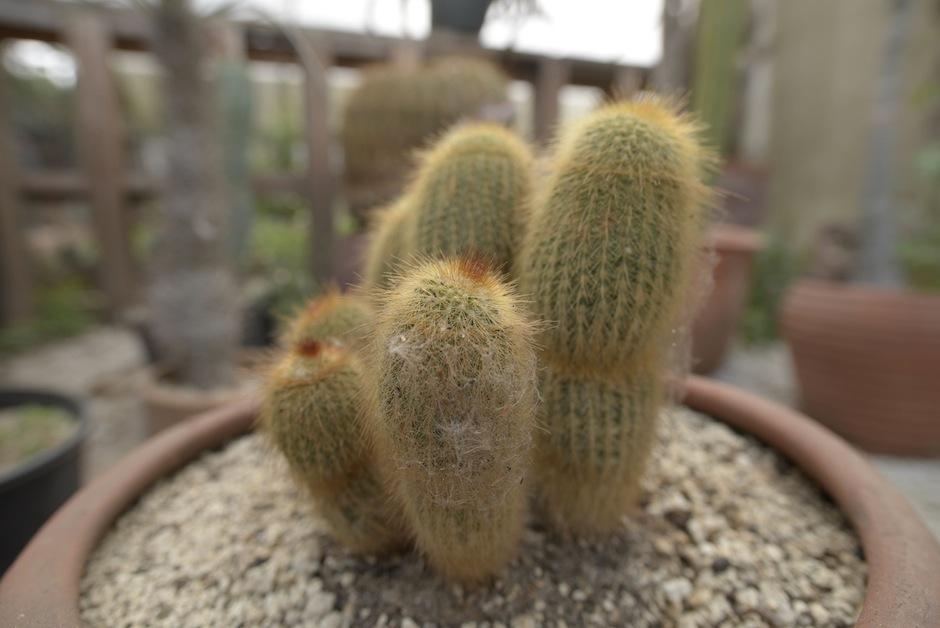 Esta es la preciosa Notocactus leninghausii. (Foto: Wilder López/Soy502)