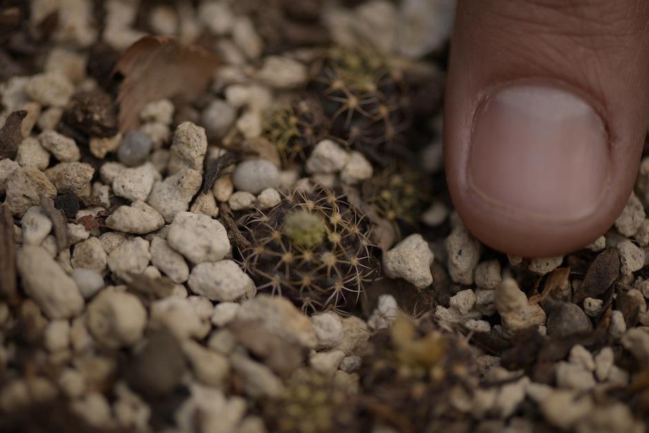 El lugar exhibe algunas plantas raras del mundo como este Cactus Frailea.  (Foto: Wilder López/Soy502)