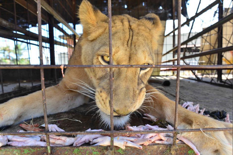 Al menos 45 animales del circo esperan ser reubicados. (Foto: Jesús Alfonso/Soy502)