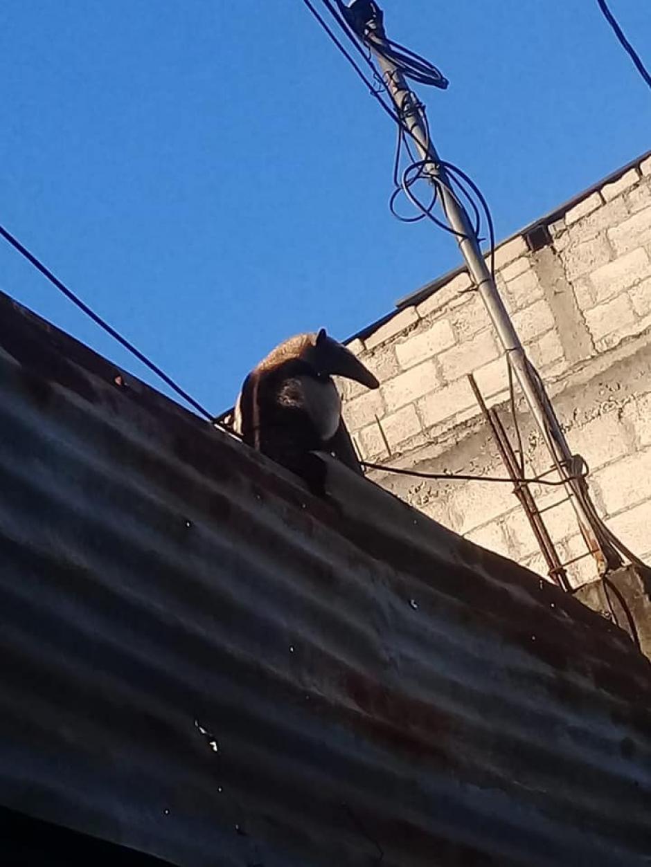 El oso hormiguero fue localizado sobre una casa. (Foto: Bomberos Municipales Departamentales)