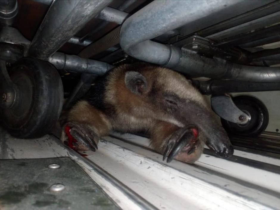 El animal tiene heridas en las patas y cerca de la cabeza. (Foto: Bomberos Municipales Departamentales)