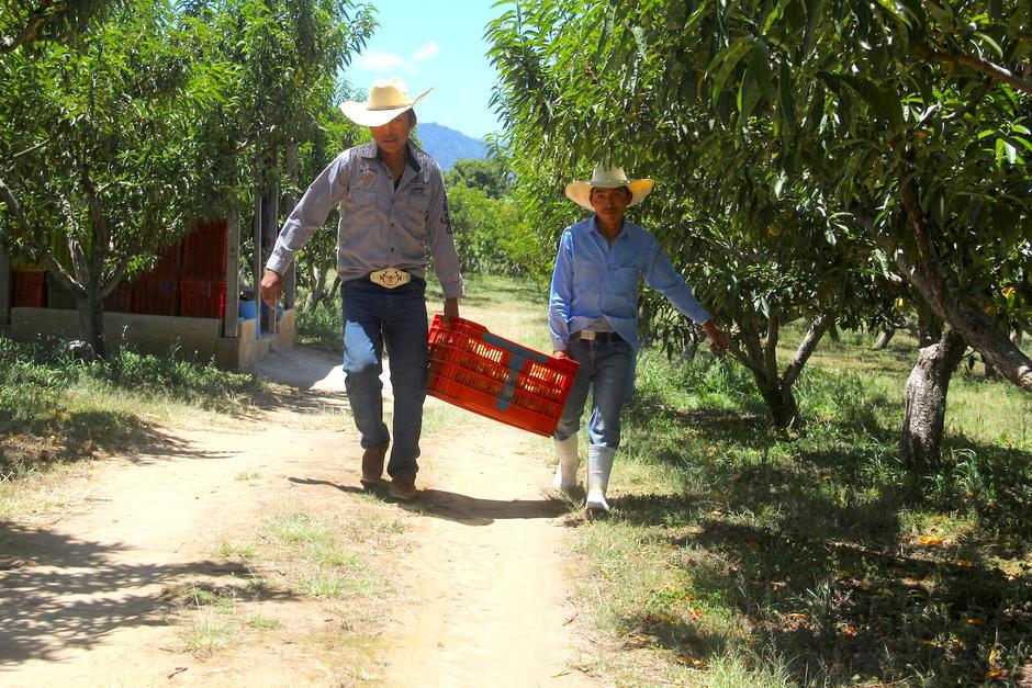 De julio a septiembre, el melocotón Salcajá endulza la mesa de los guatemaltecos y centroamericanos. (Foto: Fredy Hernández/Soy502)