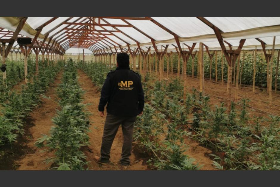 Las autoridades localizaron en un vivero producción de marihuana. (Foto: MP)