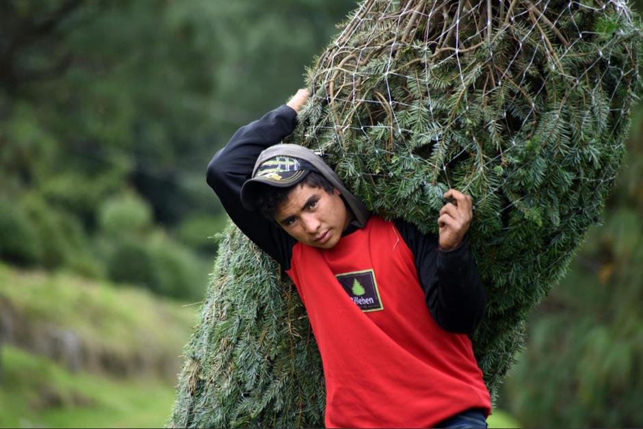 El pinabete es una especie endémica de Guatemala y se encuentra en peligro de extinción. (Foto: Orlando Estrada/AFP)