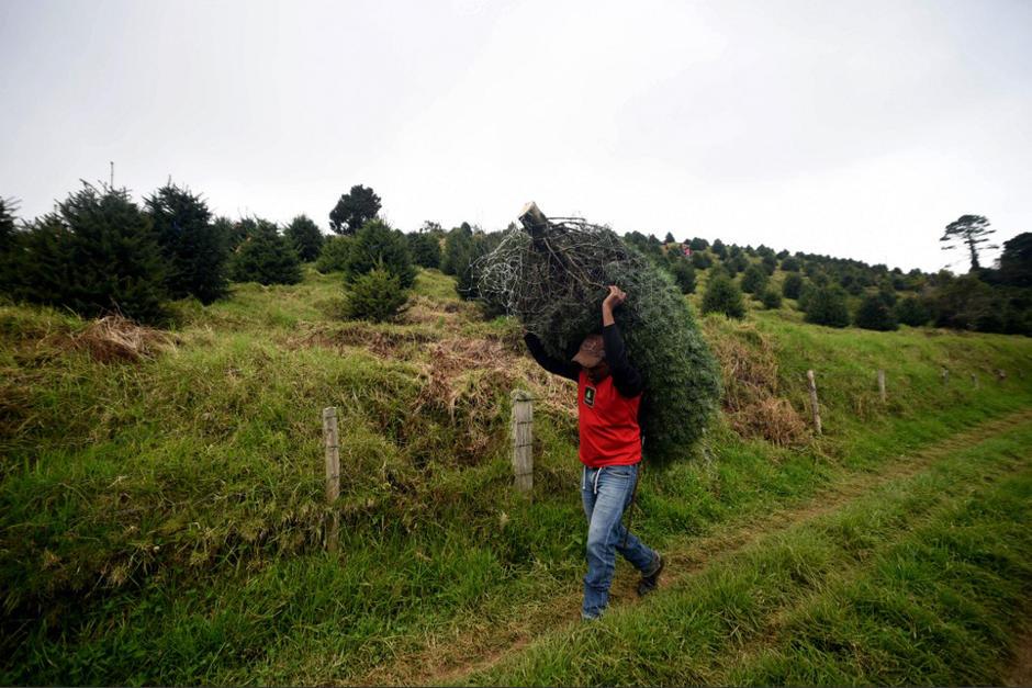 La tala ilegal de este árbol lo tiene al borde de la extinción en Guatemala.  (Foto: Orlando Estrada/AFP)