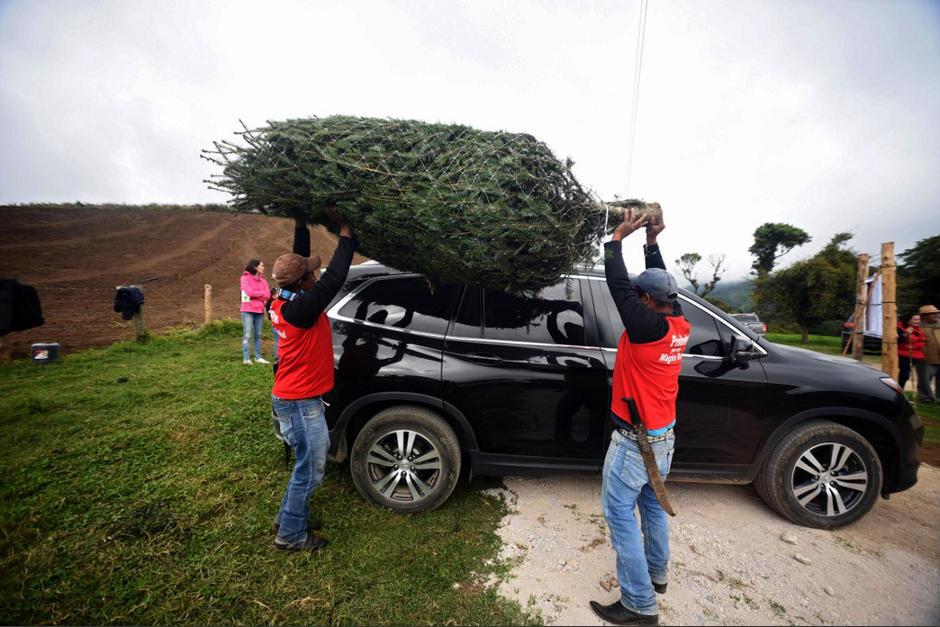 El pinabete es el tradicional árbol navideño de Guatemala y su comercialización es legal solo si cuenta con marchamo.  (Foto: Orlando Estrada/AFP)