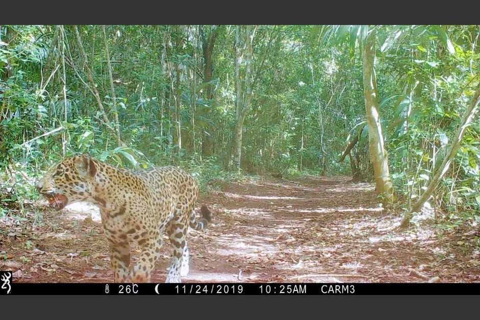 Un jaguar camina por la concesión forestal Carmelita, la última comunidad al norte de Petén. (Foto: Conap)