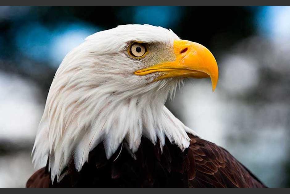El Camino Vancouver >> Aguila intenta cazar un pulpo pero termina siendo la presa | Soy502