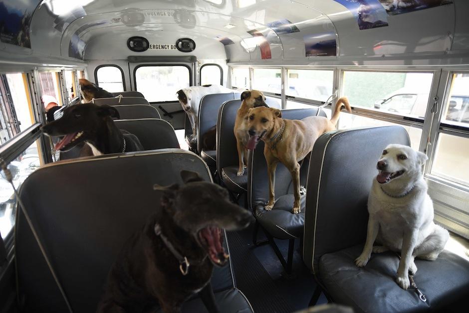 Esta singular forma de pasear a los perros ha sido la sensación en el tráfico. (Foto: Wilder López/Soy502)