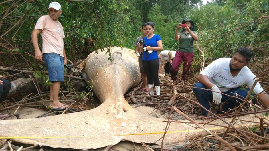 Encontraron una ballena en medio del Amazonas