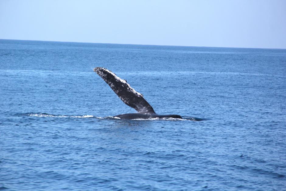 Una de las ballenas juega frente a los turistas en aguas del Pacífico. (Foto: Fredy Hernández/Soy502)