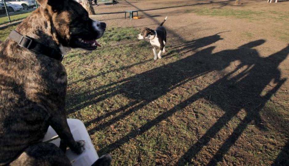 Dos pitbulls matan su dueña a mordidas