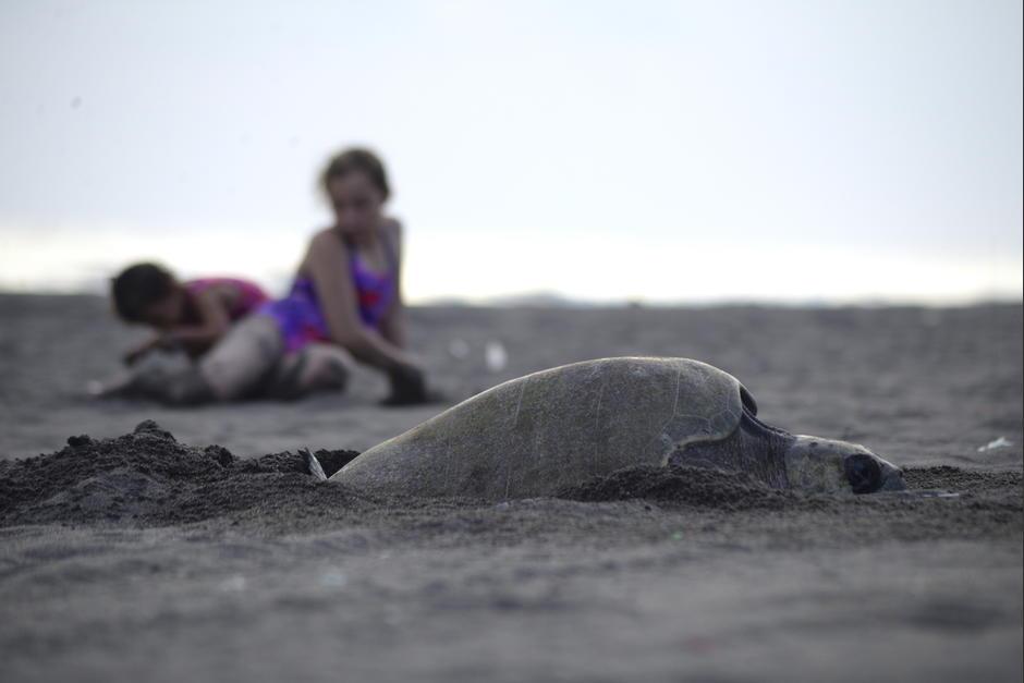 Las tortugas parlama llegan durante esta temporada a las playas del Pacífico para depositar sus huevos. (Foto: Fredy Hernández/Soy502)